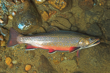 Brook Trout, Salvelinus fontinalis, courtesy U.S. Forest Service