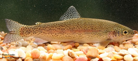 Rainbow Trout, Oncorhynchus mykiss